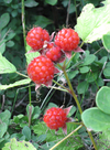 G0810rasberry
